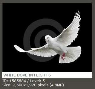WHITE DOVE IN FLIGHT 6 飞行中的白色鸽子6